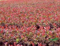 批售红叶石楠价格,各种规格红叶石楠球批发,江苏蜀桧柏销售价格