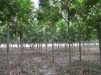栾树、七叶树、青桐、法桐、国槐、水杉、臭椿等苗木