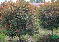 红叶石楠/红叶石楠供应/出售红叶石楠