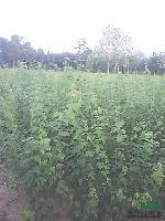 大量低价出售大叶女贞,红叶李,紫薇,三角枫,黄连木,朴树榔榆