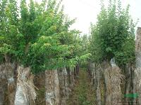 合肥供应各种三角枫,乌桕,榉树,栾树,红叶李等澳门葡京娱乐