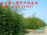 河南竹子价格,紫竹价格,刚竹价格,早园竹价格,阔叶箬竹价格