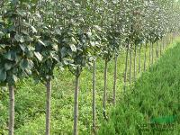 销售西府海棠,垂丝海棠,木瓜海棠,红宝石海棠等各种苗木