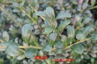 销售龟甲冬青工程苗,法国冬青,金叶黄杨,矮紫薇等苗木