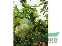 河北花灌木供应木绣球,紫珠,猥实