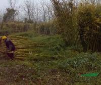 江苏毛竹基地、沭阳毛竹原产地、毛竹价格、优质毛竹