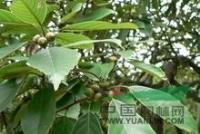 江西青冈栎,九江青冈栎,青冈栎苗木价格,九江青冈栎苗木