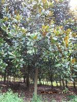 广玉兰、紫玉兰、红枫、大叶女贞、、垂柳、银杏、栾树等苗木