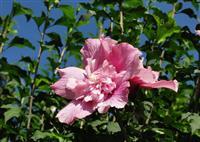 木槿,萧山木槿,无穷花,沙漠玫瑰