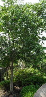 无患子,黄金树,洗手果,苦患树,木患子,油患子