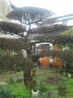 造型榆树,白榆、家榆、榆钱树、春榆、粘榔树