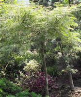 羽毛枫,细叶鸡爪槭,羽毛枫,塔枫 红枫、赤枫、三角枫