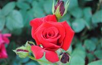 丰花月季 蔷薇月季 爬墙月季 品种月季 钻石月季