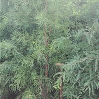 池杉 安徽池杉 池杉图片 池杉小苗 池杉价格 池杉供应
