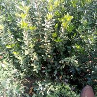 大叶黄杨工程苗大叶黄杨球价格大叶黄杨产地供应优质大叶黄杨