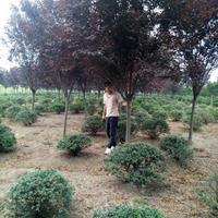 红叶李产地 紫叶李价 红叶李工程苗 红叶李图片 紫叶李苗圃