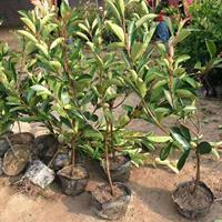 红叶石楠/红叶石楠供应/出售红叶石楠 红叶石楠价格