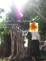 福建小叶榕树桩39