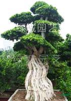 福建古榕树造型介绍