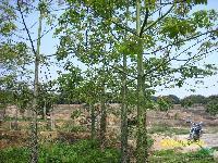 (美丽异木棉)美人树;米径8-40公分地苗和容器苗,自产自销