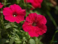矮牵牛(别名:碧冬茄、灵芝牡丹、毽子花、矮喇叭、番薯花)