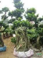 福建榕树小气根40