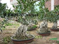 福建榕树小气根9