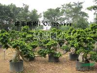 福建榕树小气根10