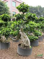 福建榕树小气根14信息