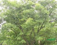 江苏沭阳低价批发红豆树种子鄂西红豆树、花榈木种子、花梨木种子