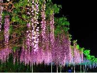 福建紫藤花信息