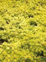 金叶佛甲草、青叶佛甲草(别名:万年草、佛指甲)、垂盆草