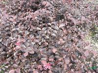 红花继木、红花继木球(别名:红花檵木、红梽木、红继花)