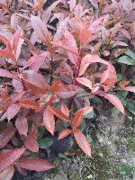 红叶石楠、红叶石楠球、高杆红叶石楠、红叶石楠柱、红叶石楠篱笆