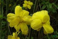 黄馨、云南黄馨、南迎春、野迎春、云南黄素馨