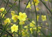 迎春 别名:金腰带、串串金、云南迎春、大叶迎春、金梅、迎春柳