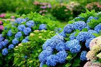 八仙花、八仙花球(绣球、粉团花、草绣球、紫绣球、紫阳花)