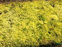 金叶佛甲草、青叶佛甲草(万年草、佛指甲、半支连)、垂盆草