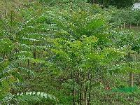 安徽香椿树*新报价/香椿树图片