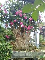 (紫薇树桩盆景)(罗汉松盆景)(铁树盆景)各种造型盆栽,盆景