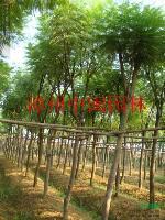 (蓝花楹)(天竺桂)(小叶榕)米径5-50公分地苗和袋苗,