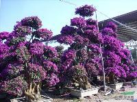 (三角梅盆景)(榕树盆景)(榆树盆景)各种造型盆栽,盆景
