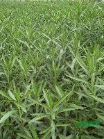 供应工程用苗法国冬青、红花夹竹桃、木芙蓉绿化苗木