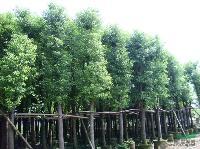 (凤凰木)香樟)红,黄风铃木)串钱柳,垂柳)米径7-4公分