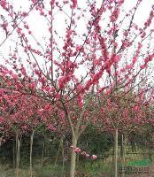 (红花碧桃)(铁树,苏铁)(红花鸡蛋花)(黄金宝树,千层金)