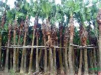 高杆蒲葵,假槟榔,布迪椰子,皇后葵,国王椰子1-9米地苗袋苗