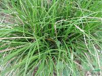各种地被草花 直立苔草、大叶苔草、金叶苔草