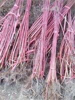红瑞木 别名:凉子木、红瑞山茱萸