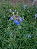天蓝鼠尾草、深蓝鼠尾草、紫绒鼠尾草、墨西哥鼠尾草、一串蓝
