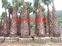 (老人葵)华棕,中东海枣,加拿利海枣1-8米杆高,地苗,袋苗